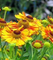 Helenium Sahin's Early Flower