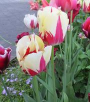 Tulipe World Expression