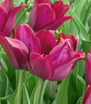 Tulipe Merlot