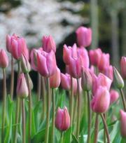 Tulipe Mistress