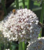 Allium Ampeloprasum (Poireau d'été)