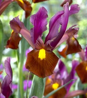 Dutch Iris Red Ember
