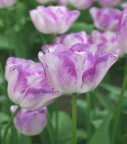 Tulipe Shirley 11-12 cm